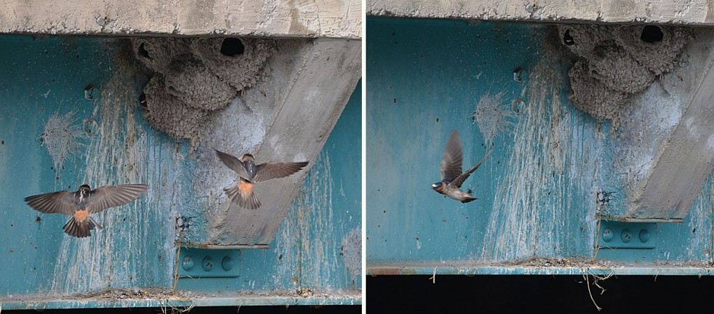 Cliff Swallows nesting under a bridge on Highway 5A near Nicola Lake. Photos: © Bob Scafe