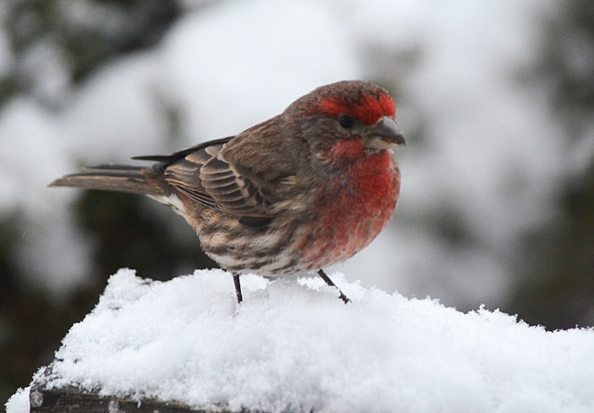 A male House Finch in winter, Merritt, BC. Photo: © Bob Scafe