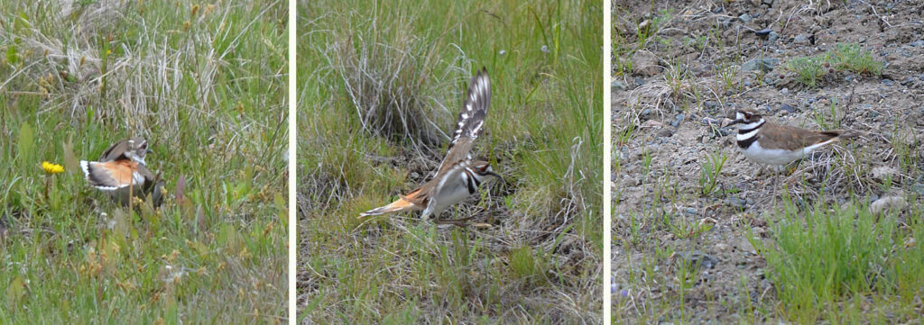 This Killdeer provided an energetic display to distract us from finding its nest.  Photos: © Bob Scafe.