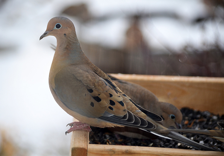 A lovely portrait of a Mourning Dove at a feeder in winter.  Photo: © Bob Scafe