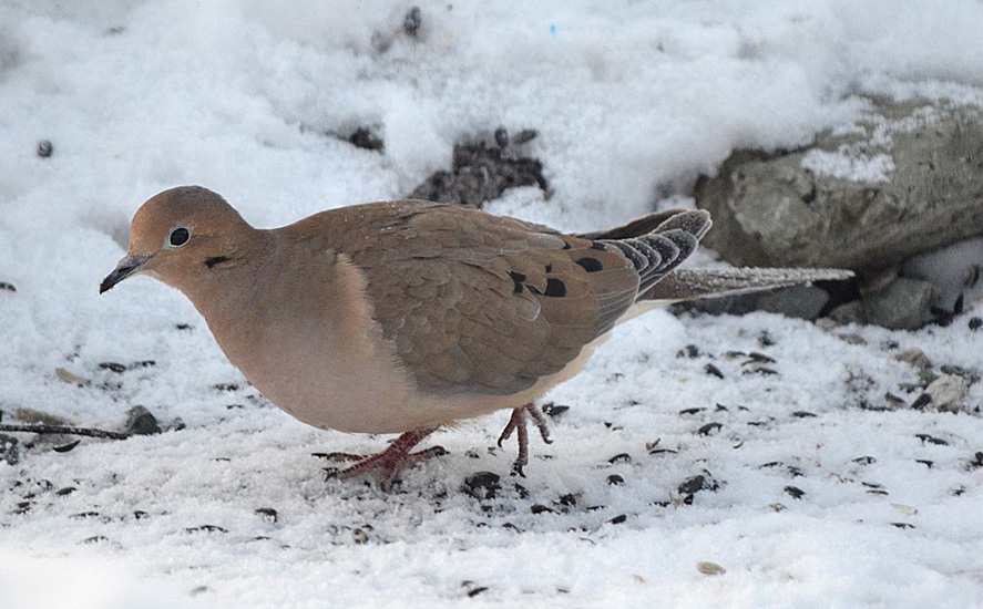 Mourning Dove. Photo:   Bob Scafe