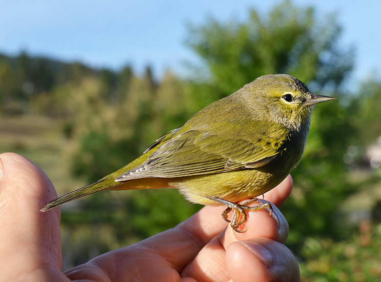 A young Orange-crowned Warbler being released after flying into a window. Photo: © Bob Scafe