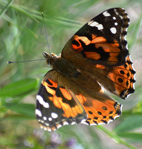 Painted Lady (Vanessa cardui) butterfly. Photo: ©Bob Scafe