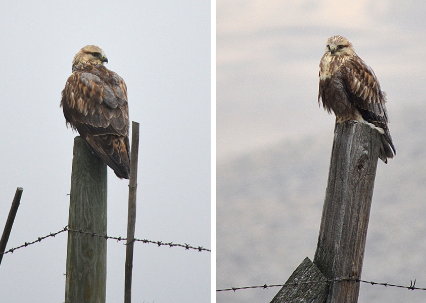 Two of the eight Rough-legged Hawks seen in the Merritt Christmas Bird Count, 14 Nov 2014. Photos: © Bob Scafe