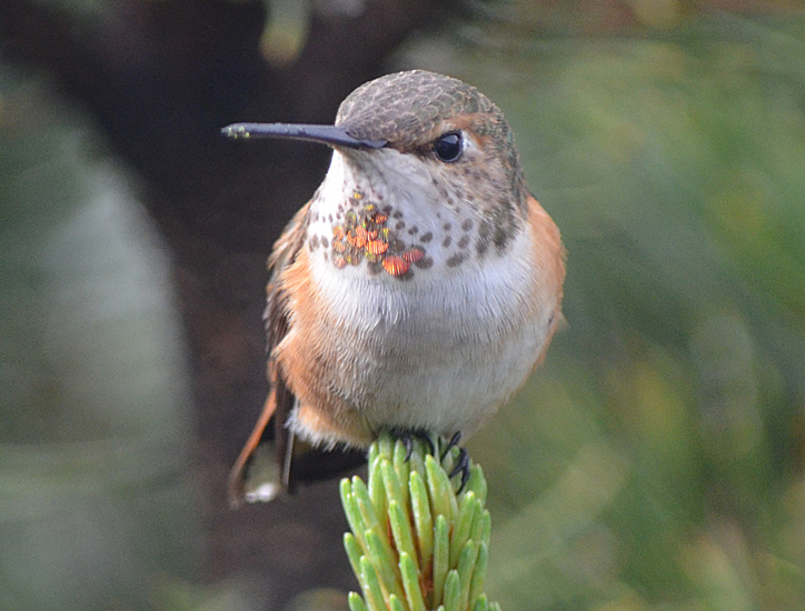 An immature male Rufous Hummingbird rests between feeds. Photo © Bob Scafe