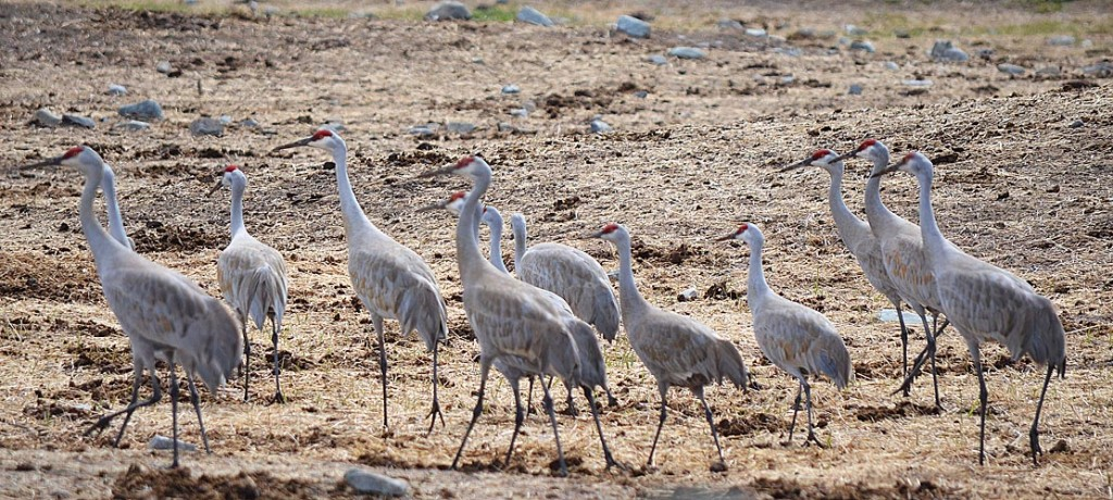 Sandhill Cranes (both Lesser and Greater forms of the species) at Douglas Lake Ranch, 21 April 2013.  Photo:  Bob Scafe.