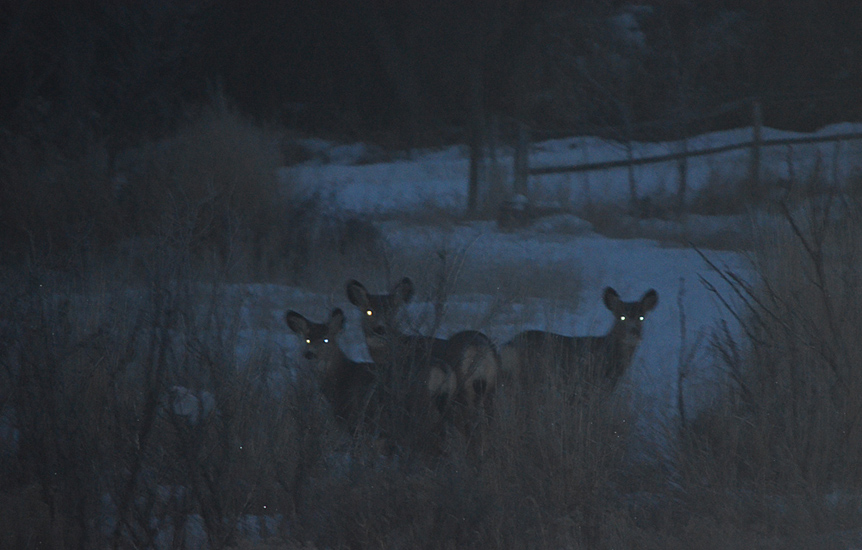 Mule Deer at night. Photo:   Bob Scafe