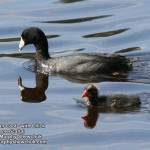 American Coot with chick (photo: Murphy Shewchuk)