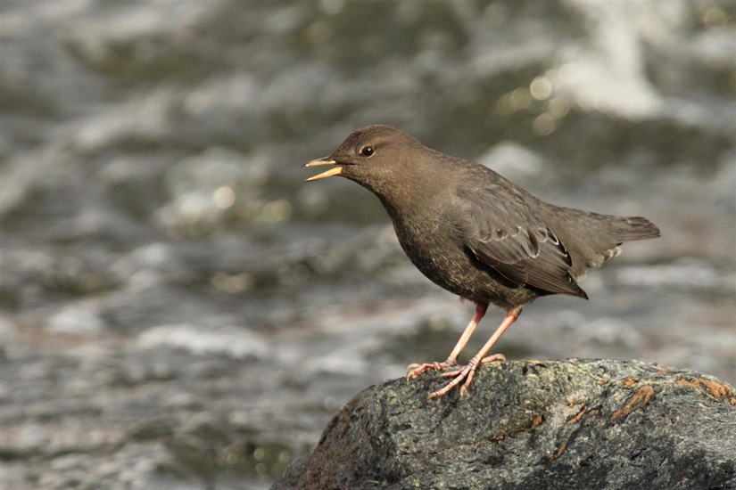 An American Dipper sings amid the rushing water of a stream. Photo: © Murphy Shewchuk