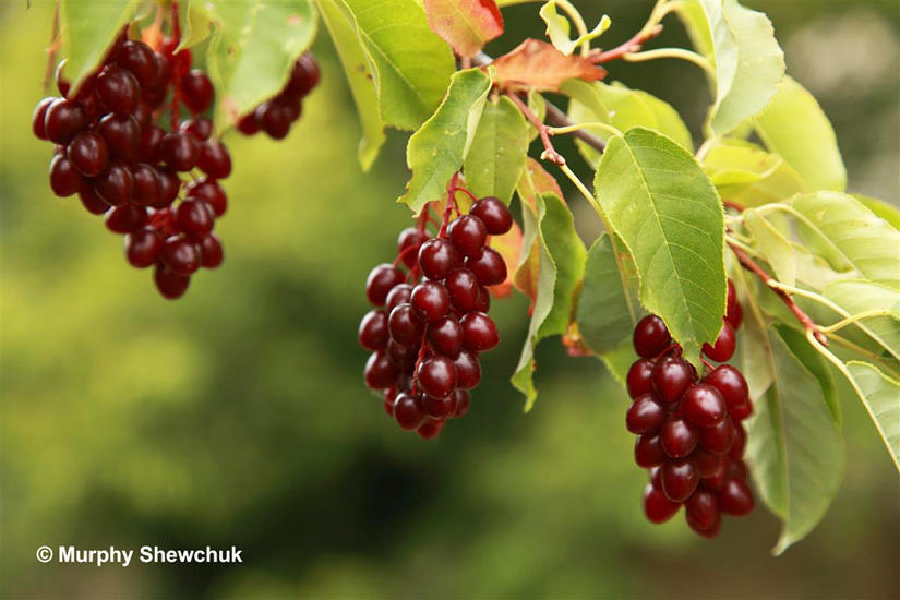 2013 was a bumper year for many wild fruit and berries.  Chokecherries were superabundant.  Photo: © Murphy Shewchuk