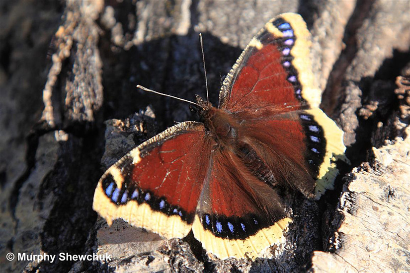 A lovely Mourning Cload butterfly - quite a common species in the Merritt area and BC interior. Photo: © Murphy Shewchuk