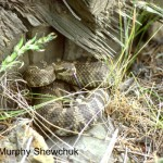 Western Rattlesnake Crotalus organus (photo: Murphy Shewchuk)