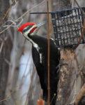 Pileated Woodpecker - Murphy Shewchuk