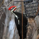 Pileated Woodpecker - Murphy Shewchuk