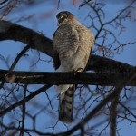 Sharp-shinned Hawk - Murphy Shewchuk