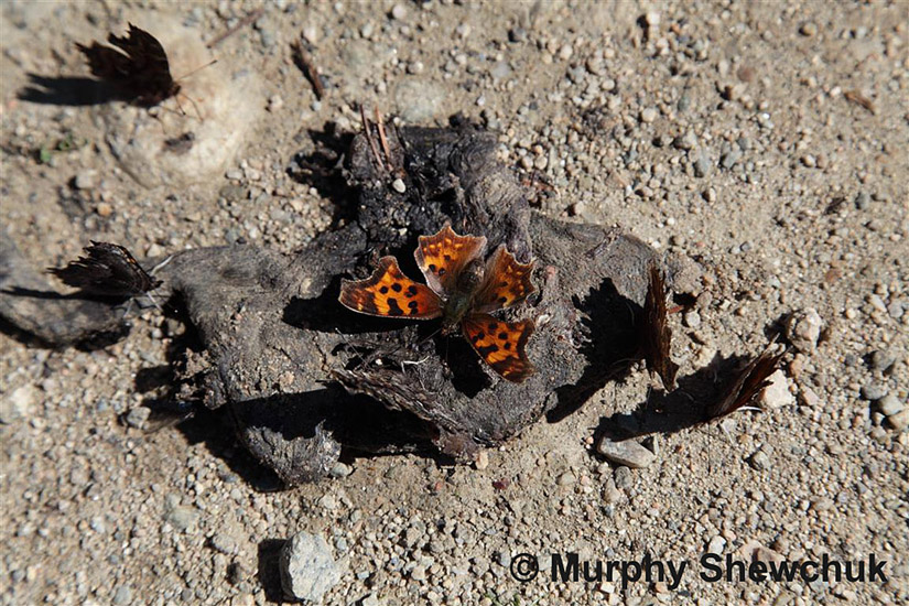 Satyr Comma butterflies gather at a dead Western Toad. Photo: © Murphy Shewchuk