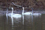 Trumpeter Swans with juveniles