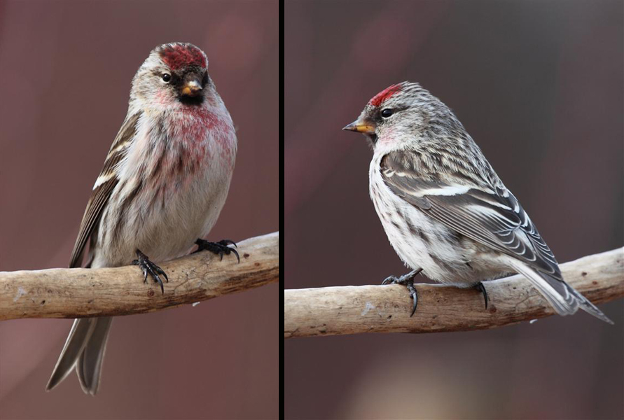 Two views of the same Common Redpoll. This species was very abundant through the 2012-2013 winter in the Merritt area. Photo:  Murphy Shewchuk.