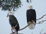 Bald Eagles - Greg & Terry Tellier