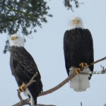 Bald Eagles - Greg &amp; Terry Tellier