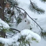 Snowshoe Hare - Greg & Terry Tellier