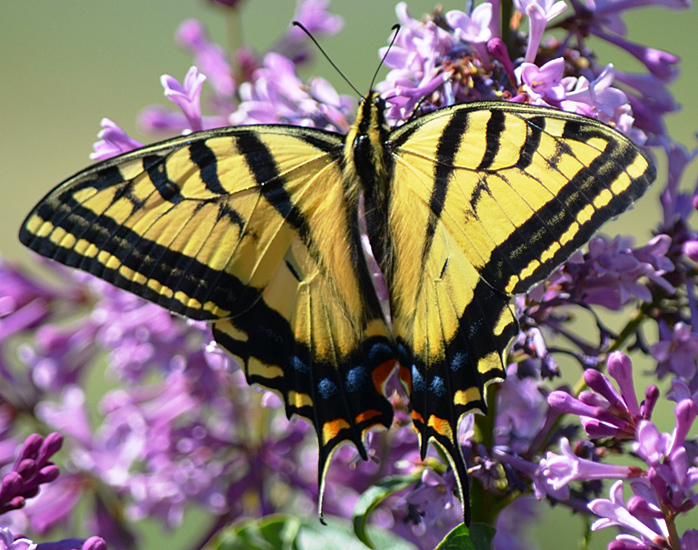 Two-tailed Swallowtail butterfly. Photo: © Bob Scafe