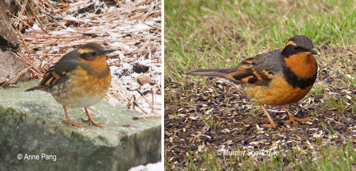Spring migrants: female (left) and male (right) Varied Thrushes.  Photos: © Anne Pang (L) and Murphy Shewchuk (R)