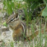 A Yellow Pine Chipmunk - a common species in the Harmon Lake area.  Photo: © Carol Maryga